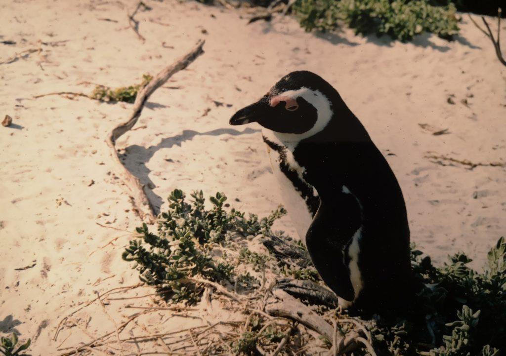 Sud Africa Pinguino